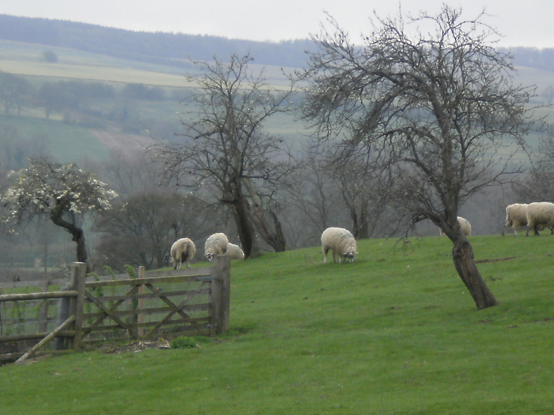 Sheep on Path to Dover's Hill