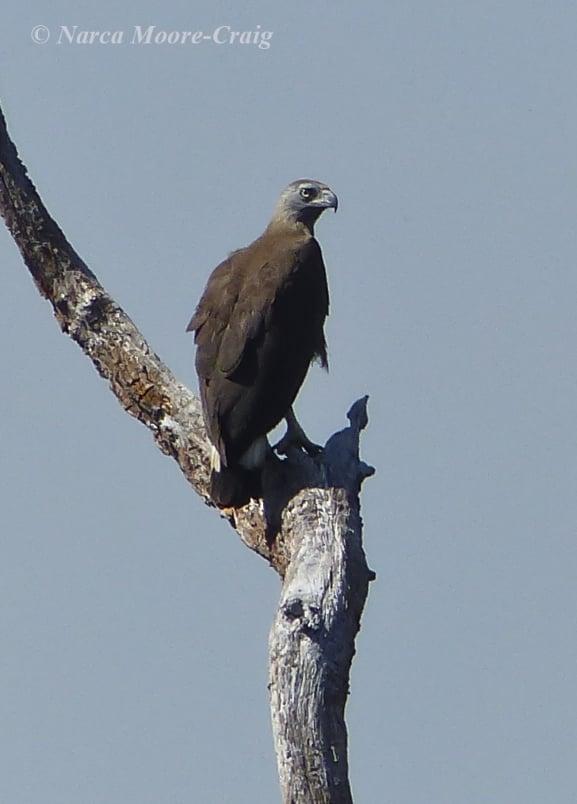 Gray-headed Fishing Eagle