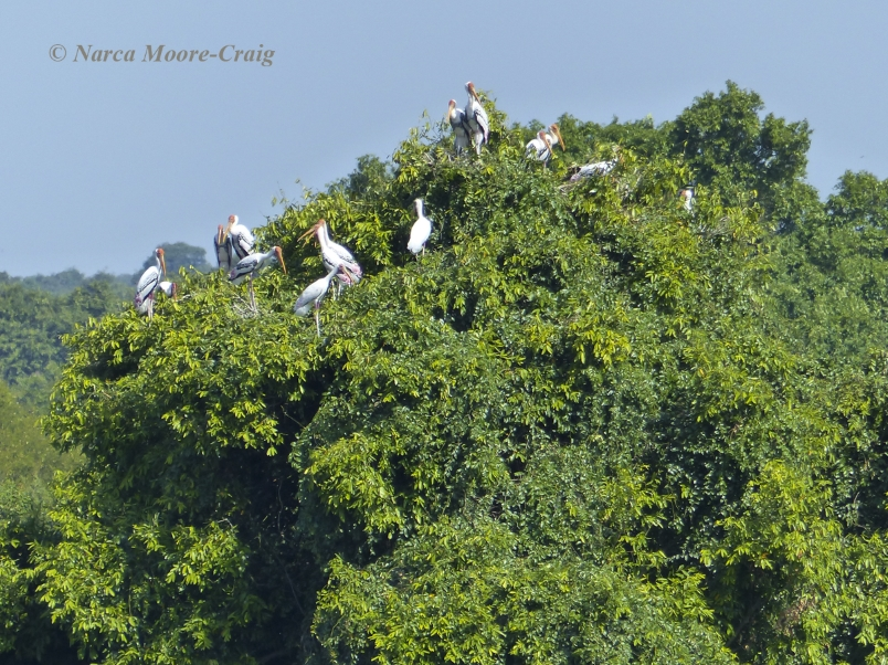 Painted & Milky storks