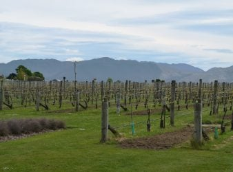 Marlborough Grape Orchard